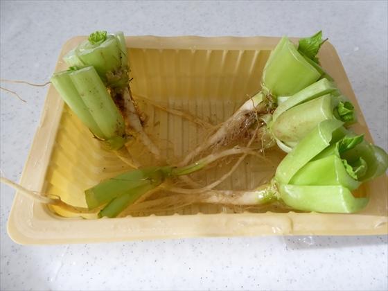 小松菜の根を豆腐パックに浸している