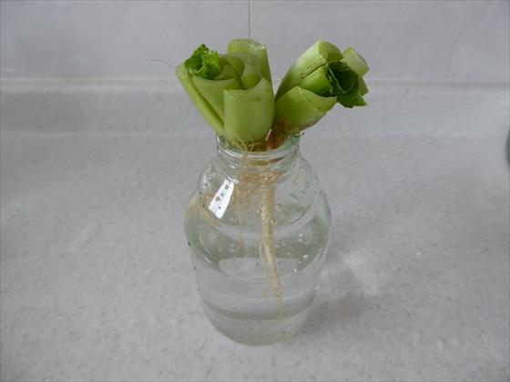 瓶に入れた小松菜の根