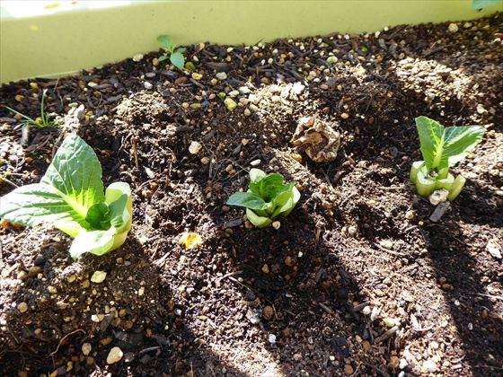 プランターに植えた根っこ1