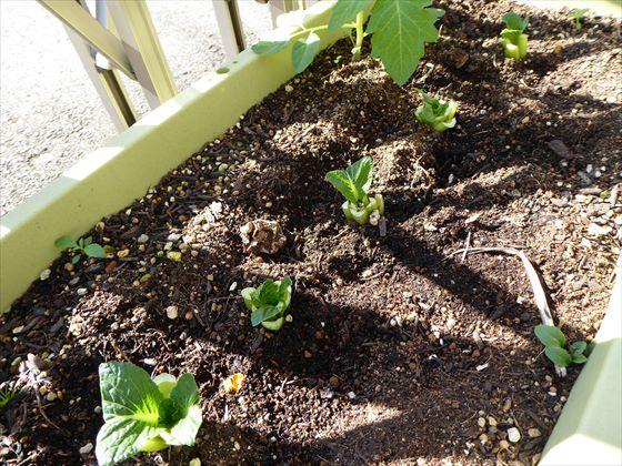 プランターに植えた根っこ2