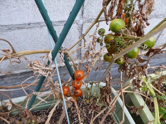 2月27日赤と緑のミニトマト
