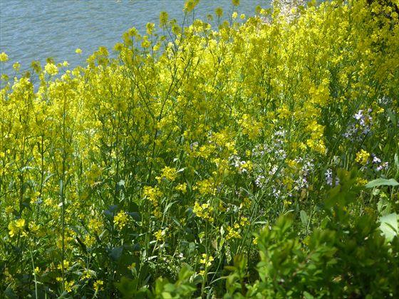 橋の下の菜の花
