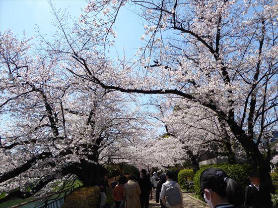 千鳥ヶ淵の桜道