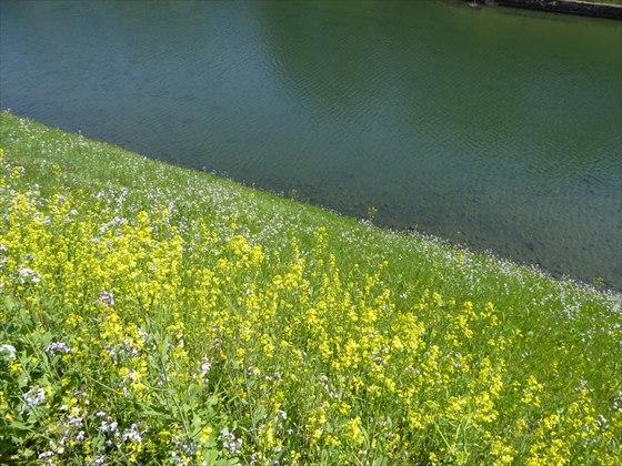 お堀に咲く菜の花
