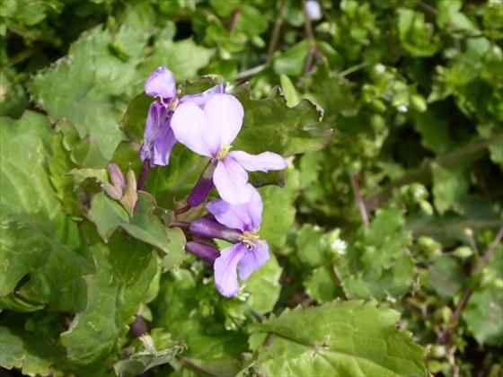 スミレっぽい花