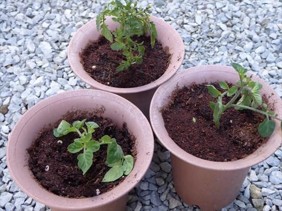 4月16日のトマトの鉢