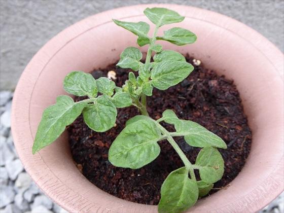 4月16日のトマトの鉢、苗アップ写真、そのいち