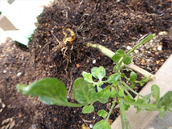 皮がついたままの実から発芽したトマトの根っこ部分と大きく育った葉っぱ部分