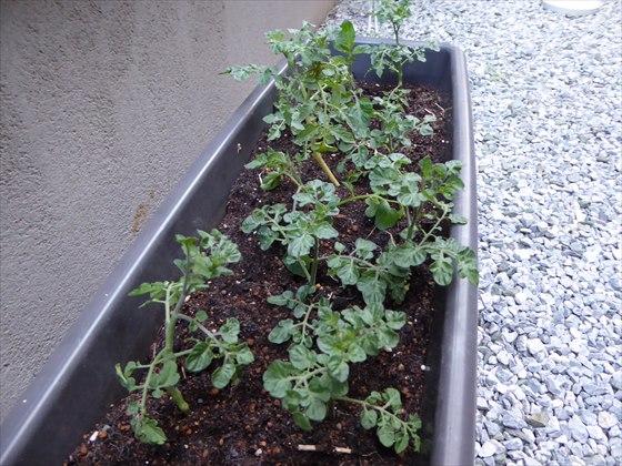 5月12日プランターのトマト