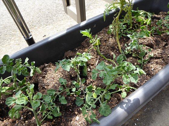5月5日プランターのトマト