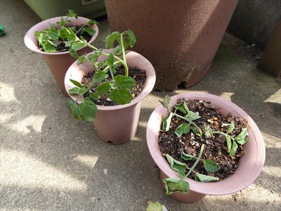 5月5日のトマトの鉢