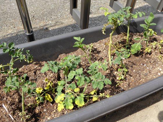 5月11日プランターのトマト