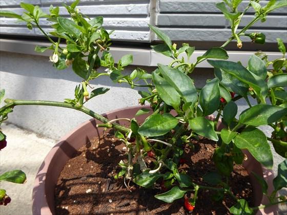 シシトウの苗木