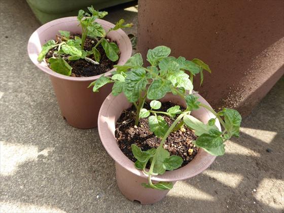 5月13日のトマトの鉢