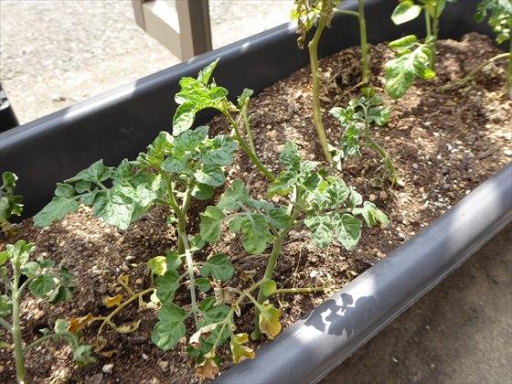 5月13日プランターのトマト