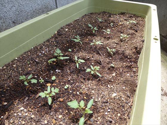 小分けにして植えた芽、そのいち