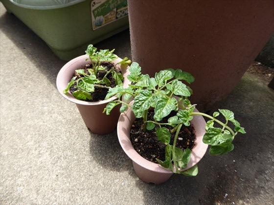 5月15日のトマトの鉢