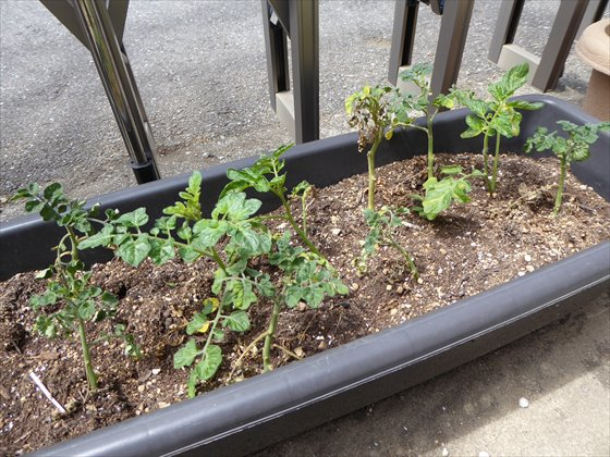 5月15日プランターのトマト