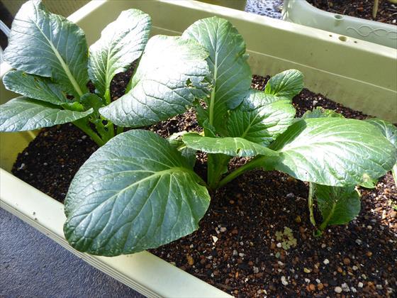 プランターで育つリボベジ小松菜