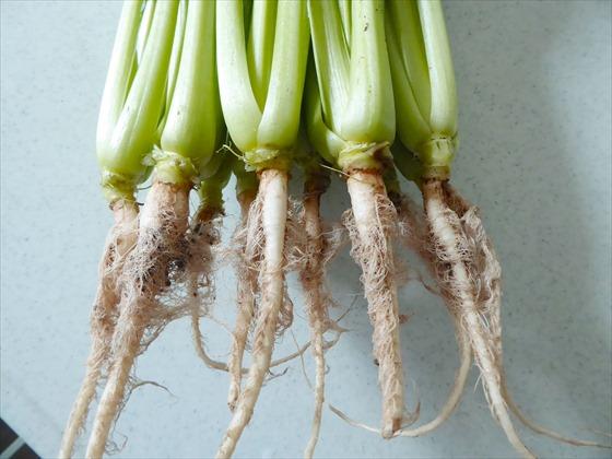 リボベジした小松菜の根っこ