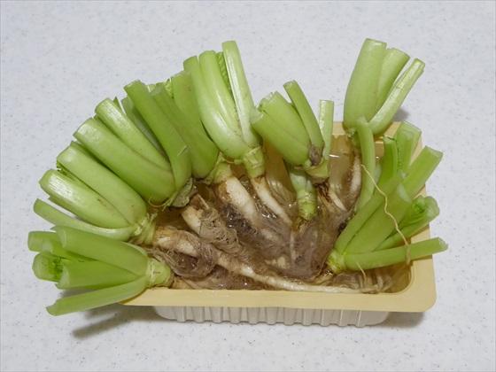 水に浸けた小松菜の根っこ