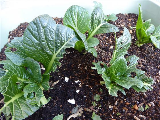 浅いプランターに植えた小松菜