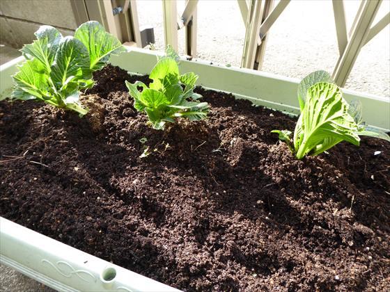 植え替えた小松菜のプランター