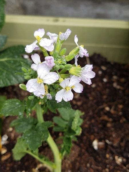 大根のリボベジ2回目プランターに植えて花が咲いた状態