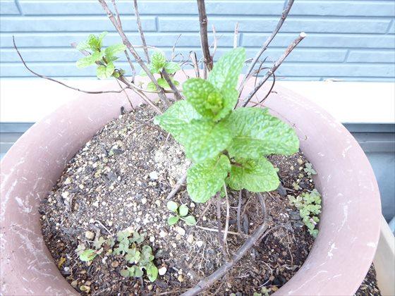 12月31日の鉢植えのミントの様子