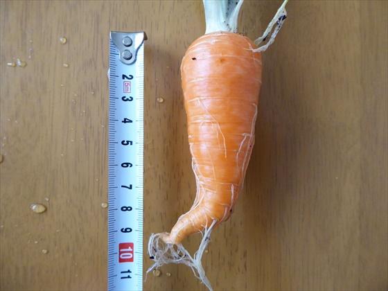 大きい人参を大きさを測っているところ