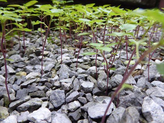 シソの細い茎