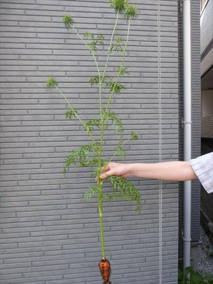成長しすぎた人参の葉