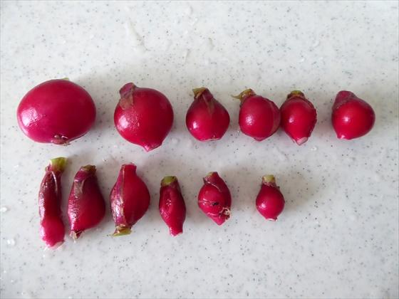 まとめて収穫した二十日大根12個