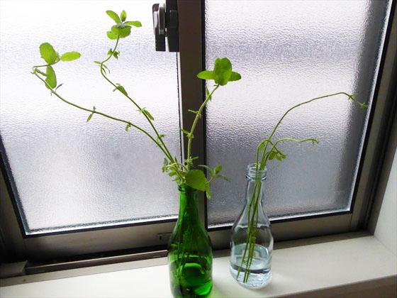 瓶に挿したミントの枝