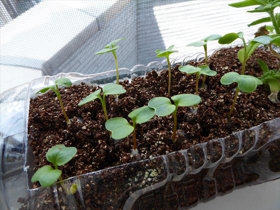 5月3日水耕栽培二十日大根