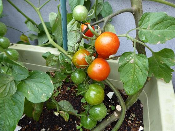 赤くなったミニトマト