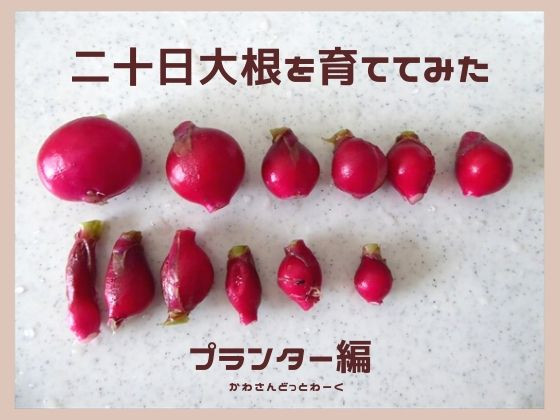 二十日大根プランター栽培アイキャッチ