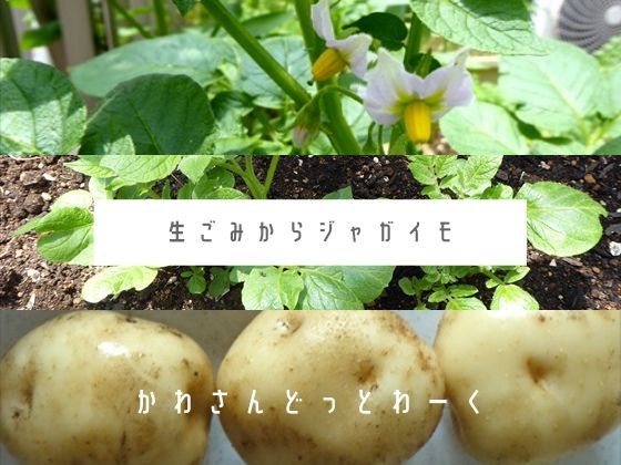リボベジジャガイモ成長記録アイキャッチ