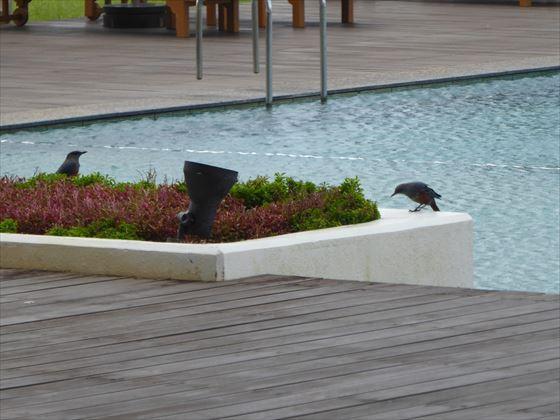 プールサイドの鳥