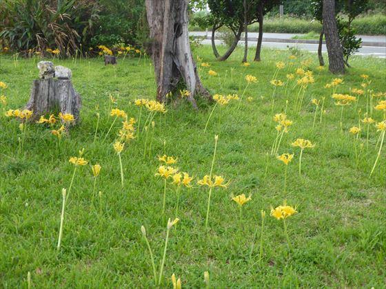 ショウキズイセンがたくさん咲いている様子