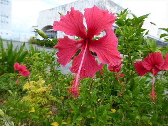 濃いピンク色でめしべが長いハイビスカス