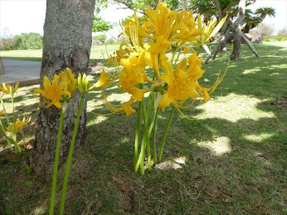 木の根元に咲くショウキズイセン