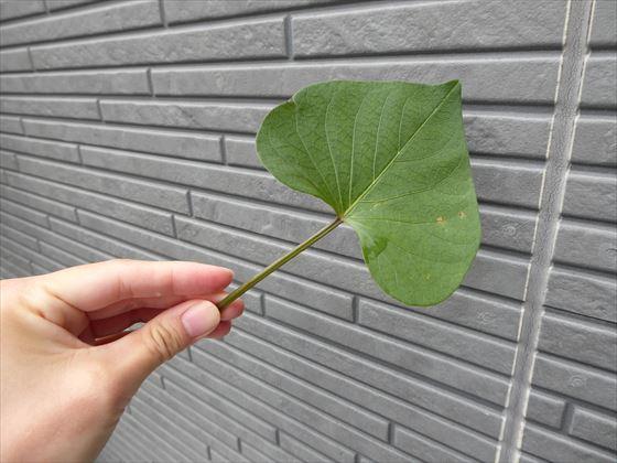 さつまいもの葉と茎