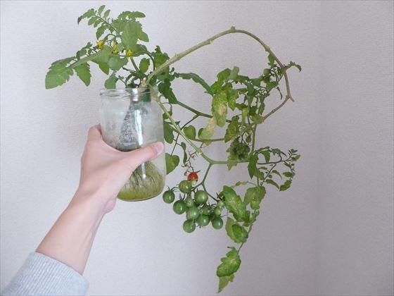 瓶に入った水耕栽培のトマト