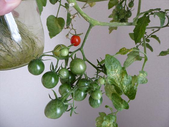 水耕栽培になっているトマト