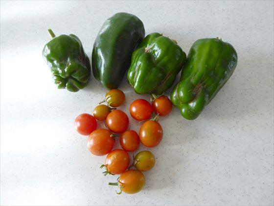 収穫したピーマンとミニトマト