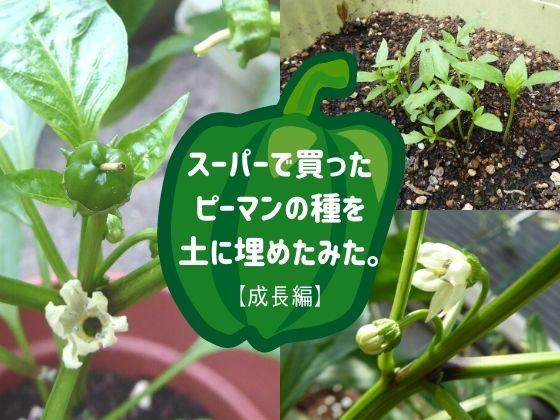 スーパーで買ったピーマンの種を土に埋めたみた【成長編】