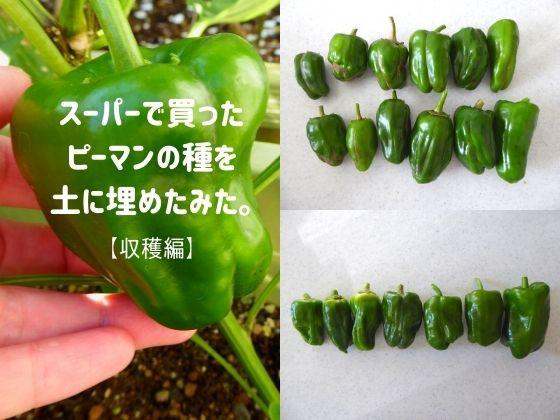 スーパーで買ったピーマンの種を土に埋めたみた【収穫編】