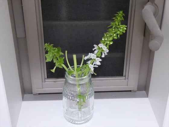 瓶にさして窓辺に置いたバジルの茎