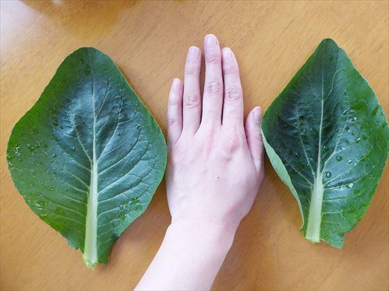 手の同じサイズに育った小松菜の葉